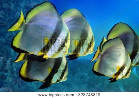 School Of Tropical Fishes Butterflyfish. Close Up