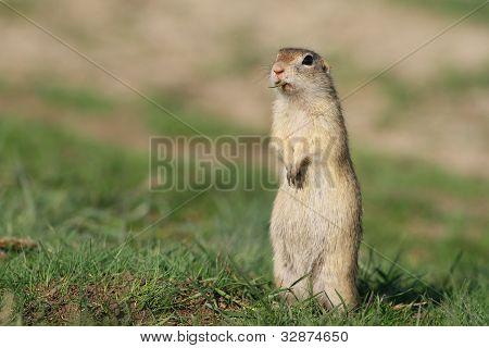Beautiful european ground squirrel
