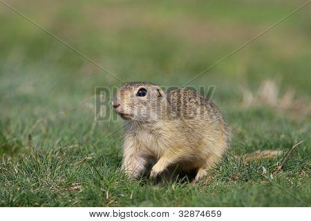 European ground squirrel - Souslik