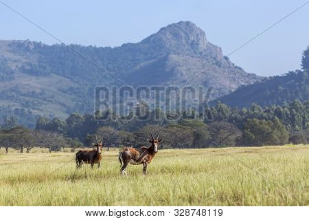 Two Blesbuck In Mlilwane Wildlife Sanctuary Scenery , Swaziland ; Specie Damaliscus Pygargus Phillip