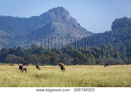 Group Of  Blesbuck In Mlilwane Wildlife Sanctuary Scenery , Swaziland ; Specie Damaliscus Pygargus P