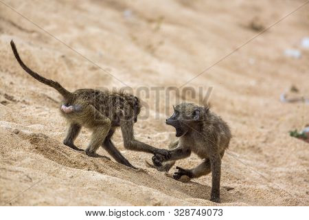 Two Chacma Baboon Fighting In The Sand In Kruger National Park, South Africa ; Specie Papio Ursinus