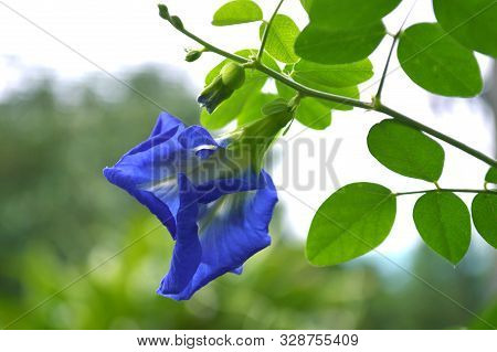 Butterfly Pea (clitoria Ternatea) Flower From Central Of Thailand