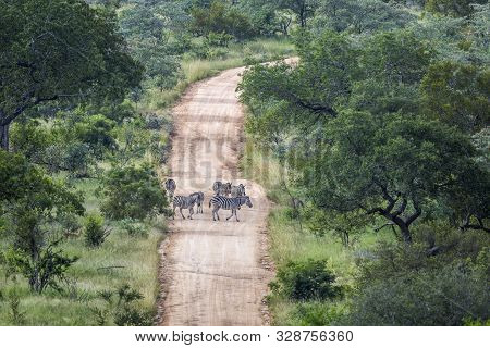 Plains Zebra On A Safari Gravel Road In Kruger National Park, South Africa ; Specie Equus Quagga Bur