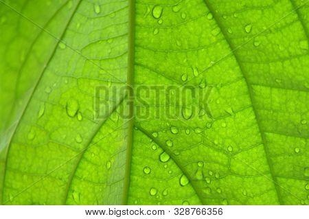 Back Side Of Avocado (persea Sp.) Leaf Background