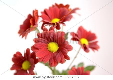 Chrysanthemums On Display