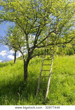 Tree with a ladder
