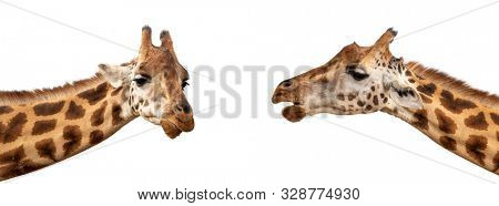 Two Rothschildâs giraffes, Giraffa camelopardalis rothschildi, closeup of face and neck isolated on a white background. Popular social media banner proportions.
