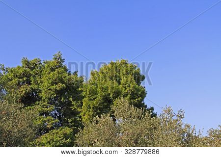Bright Blue Sky Without Clouds Copy Space Above Pine And Olive Trees In Athens, Greece.