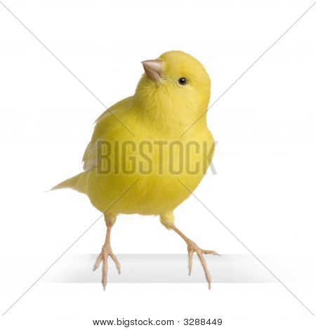 Yellow canary - Serinus canaria on its perch in front of a white background poster