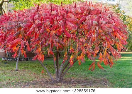 Bush Of The Rhus Typhina, Also Known As Staghorn Sumac, Or Just Sumac With Bright Red Autumn Leaves