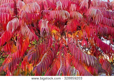 Fragment Of The Rhus Typhina Bush, Also Known As Staghorn Sumac, Or Just Sumac With Bright Red Autum