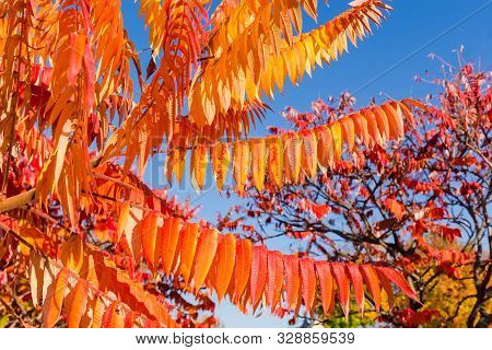 Branch Of The Rhus Typhina, Also Known As Staghorn Sumac, Or Just Sumac With Bright Red With Orange