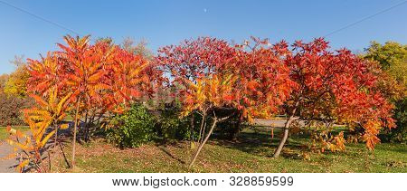 Small Decorative Trees Of The Rhus Typhina, Also Known As Staghorn Sumac, Or Just Sumac With Bright