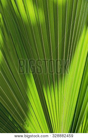 Backgrond Texture Of A Palm Tree Leaf.