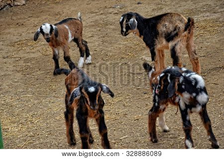 beautiful peaceful tame goat animals on a farm on Canary Island Fuertaventra poster