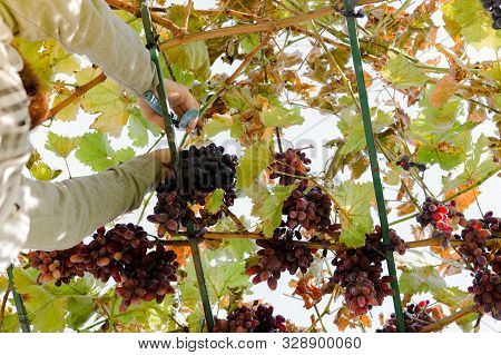 Man Crop Ripe Bunch Of Red Grapes On Vine. Vintner Man Picking Autumn Grapes Harvest For Food Or Win