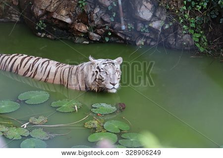 White Tiger. Tiger In Wild Summer Nature. White Tiger Walking / Swimming In River. Action Wildlife S