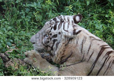 Closeup Portrait Shot Of A White Tiger.big White Tiger Lying On Grass Close Up.