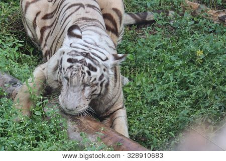 This Is A Very Rare Shot Of A Wild White Tiger.white Tiger In Prone.big White Tiger Lying On Grass C