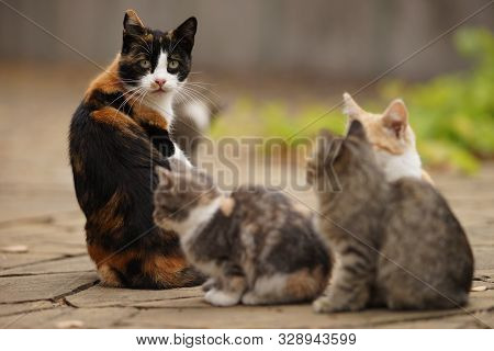 Maneki Neko Tricolor Cat And Her Small Kittens, Family Portrait Outdoor, Relaxation Domestic Animals