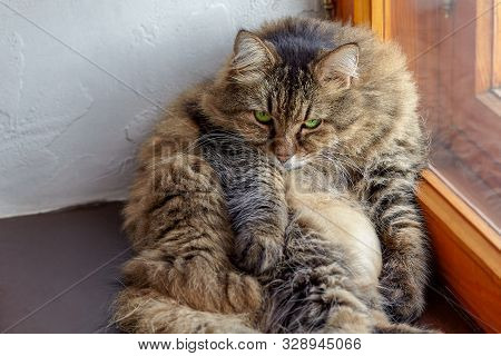 Сute And Fat Long-haired Siberian Cat Of Tabby Color With Bright Green Eyes. Fluffy, With Impressive
