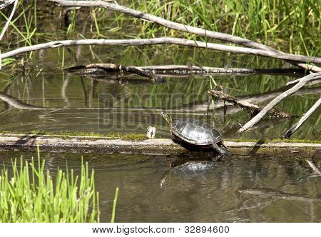 Turtle On A Log.