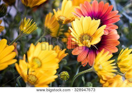 Fiori Gialli 8 Petali.Giallo Images Illustrations Vectors Free Bigstock