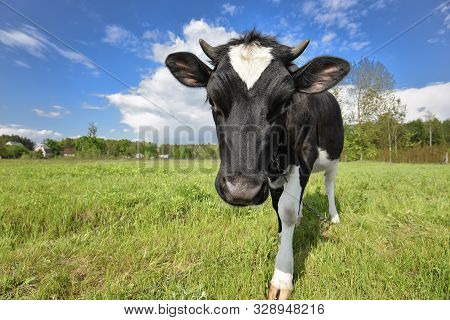 Animal Big Snout. The Portrait Of Cow With Big Snout On The Background Of Green Field. Farm Animal.