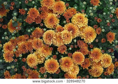 Flowering Red Orange Chrysanthemums In Autumn Garden. Chrysanthemum Koreanum. Fall Background With B