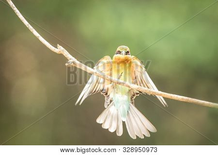 The Blue-tailed Bee-eater (merops Philippinus) Landing On Branch, Colorful Bird On Clear Background,
