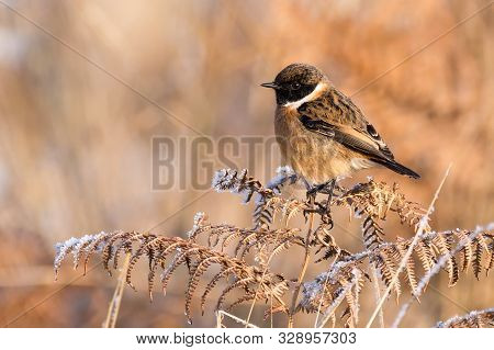 A Stonechat (saxicola Torquata) Perched Atop A Wilted And Brown Fern In An English Meadow During Win