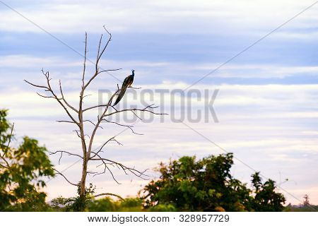 An Impressive Male Indian Peafowl Or Peacock (pavo Cristatus) Perched High In A Tree Overlooking The
