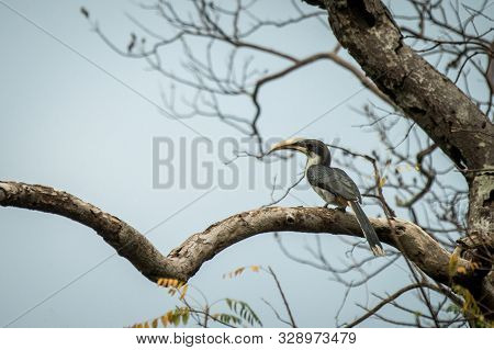 Sri lankan grey hornbill perches on a dead tree without leaves, colorful bird on clear background, Yala National Park, Sri Lanka, exotic birdwatching in Asia,bird in natural environment poster