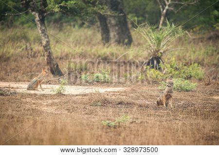 Couple Of Golden Jackal, Canis Aureus In The Grass, Sri Lanka, Asia. Beautiful Wildlife Scene From N