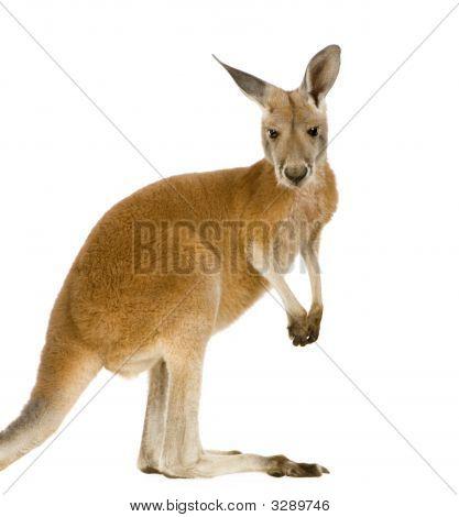 Young Red Kangaroo