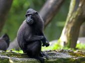 Crested Black Macaque on a branch in the forest poster
