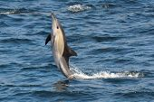 Common dolphin showing how majestic they are in the wild poster