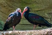 closeup of a blind northern bald ibis couple, Endangered bird specie from Africa poster