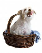 Cute dog with tongue out in basket over white background poster
