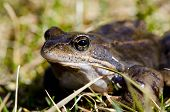 Frog eye macro closeup of wet amphibian animal between grass. poster