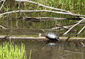 A turtle is on a log sunning itself. poster