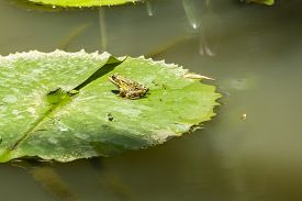 Single Frog On A Lily Pad In A Pond
