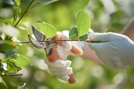 The Concept Of Gardening. Female Hands In White Gloves, Cut The Branches With Pruning Shears.