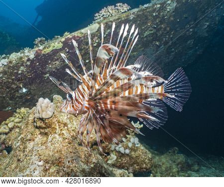 Closeup Detail Of Red Sea Lionfish Pterois Miles Swimming Underwater Over Part Of Shipwreck