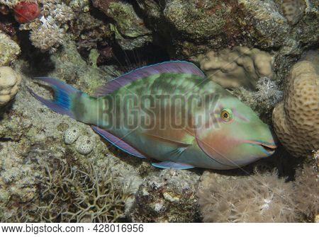 Closeup Detail Of Pacific Longnose Parrotfish Hipposcarus Longiceps Sleeping At Night On Tropical Re