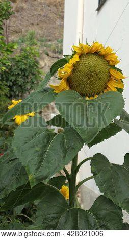 Large Sunflower Past Its Best In Corner Og Village Garden, Andalusia