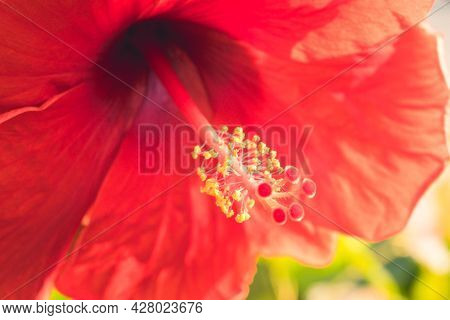 Red Hibiscus Rosa-sinensis Flower Yellow Pollen In The Middle. Malaysia National Flower