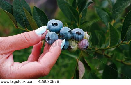 A Woman's Hand Collects Blueberries From A Bush. Blueberry Cluster On Bush. Northern Highbush Bluebe