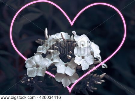 White Phlox Flowers, A Bouquet Of White Flowers, Phlox On A Dark Background. The Pink Heart Passes T